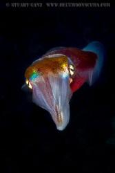 Hawaiian Squid by Stuart Ganz