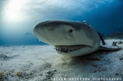 A bright sunny day at Tiger Beach Bahamas and the Lemon S... by Steven Anderson