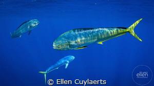 Mahi Mahi Fest Ascension Island by Ellen Cuylaerts