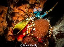 Mantis shrimp and eggs by Mark Reilly