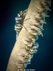 coralstick by Marc Van Den Broeck