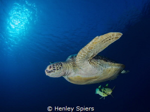 Turtle Dive by Henley Spiers