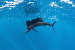Sailfish in the surface, Isla contoy México by Alejandro Topete
