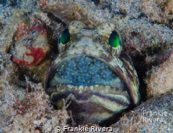Jawfish Incubating eggs by Frankie Rivera