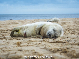 Nap time  Grey Seal (pup) - Halichoerus grypus  Horse... by Stefan Follows