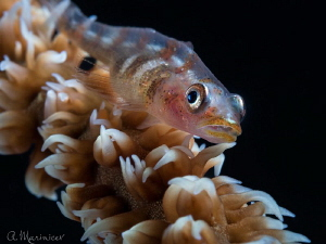 Whip Coral Goby by Aleksandr Marinicev