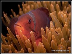 These spine cheek anemone fish never want to sit still fo... by Yves Antoniazzo