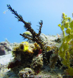 Ornate ghost pipefish at seahorse bay in Lombok by Xiaoqian Cui