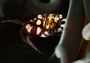 Harlequine swimming crab in his house by Adriana Simeonova