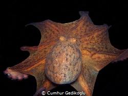 Octopus vulgaris Spaceship from Korumar Bay by Cumhur Gedikoglu