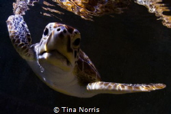 Sea Turtle Reflection by Tina Norris