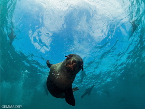 Curious Seal Pup - Hout Bay - South Africa by Gemma Dry
