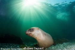 The clear cold waters just off Vancouver Island hold many... by Marc Damant