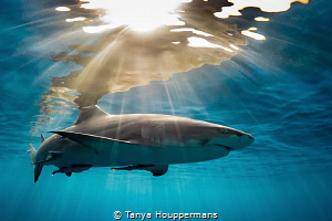 'A Light Embrace' - A lemon shark glides through the late... by Tanya Houppermans