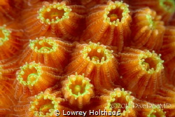 Supermacro image of star coral.  This so clearly demonstr... by Lowrey Holthaus