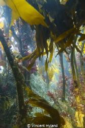 Kelp forest at Wild Derrynane, Skellig Coast, Wild Atlant... by Vincent Hyland