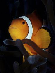 clown fish,f100 and single strobe by Gregory Grant