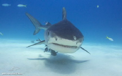 approaching Tiger shark by Mike Kaluza