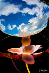 A waterlily photographed in a pond in Belgium. The camera... by Filip Staes