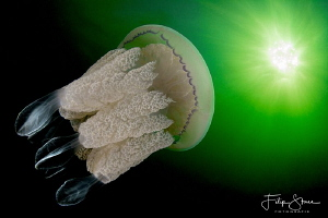 A Barrel jellyfish is swimming towards the sun. by Filip Staes