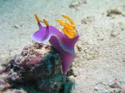 """Royal Nudi"", Mabul Island May 06, Spotted bright pink th... by Damien Preston"