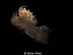 SAILED FISH. Butterfly Horozbina by Soner Orhan