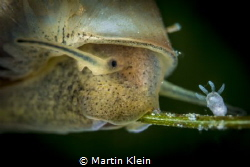 A tiny pond snail and a polyp taken with the MP 65-E at 5... by Martin Klein
