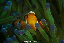 Clownfish with green anemone. by Stephen Tan