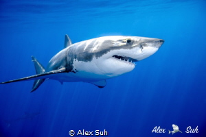 Great White Shark Passing By by Alex Suh