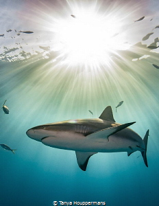 'The Magic Hour' - This image of a Caribbean reef shark w... by Tanya Houppermans