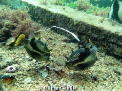 Ornata Cowfish feeding on a crab Pt Hughes Jetty South Au... by Debra Cahill