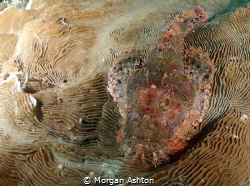 Raja Ampat Stonefish by Morgan Ashton