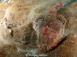 Raja Ampat Stonefish by Morgan Ashton