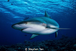 Grey Reef Shark at a Dive Site called Vertigo. by Stephen Tan
