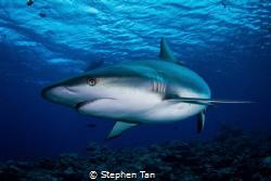 Grey Reef Shark at a Dive Site called Vertigo. by Stephen Tan