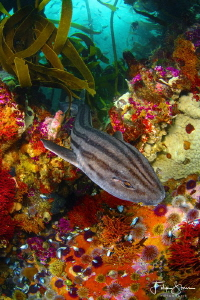 A Pyjama shark is swimming over a colorful rocky reef at ... by Filip Staes