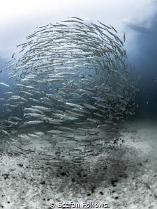 Suspended Load  Chevron Barracuda - Sphyraena qenie  ... by Stefan Follows