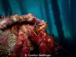 Dardanus calidus Under the jetty from Korumar Bay. by Cumhur Gedikoglu