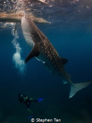 Whaleshark with diver in Oslob by Stephen Tan