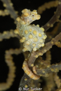 A pregnant male Pygmy Sea Horse by Nur Tucker