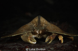 UFO or Moth crab.....?this little guy was scuttling aroun... by Luke Gordon