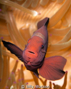 Hypnotized  Spinecheek Anemonefish (female)-- Premnas bi... by Billy Watson