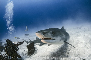 The World Famous Emma the Tiger Shark makes her graceful ... by Steven Anderson