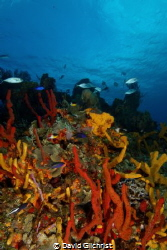 Colourful Reef Scenic, Cozumel by David Gilchrist