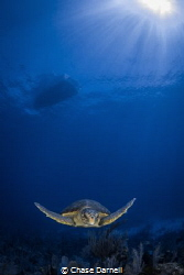 """""""Loggerhead Youngster"""" This is by far the smallest Logge... by Chase Darnell"""
