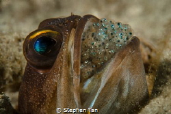 Jawfish with Eggs by Stephen Tan