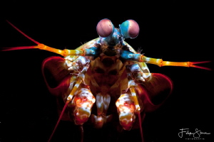 Portrait of a Mantis shrimp, Lembeh strait. by Filip Staes