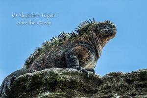 Marine Iguana, Punta Vicente Roca Galapagos by Alejandro Topete
