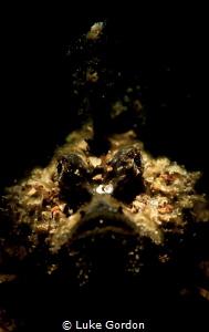 Tiny juvenile Inimicus didactylus, A.K.A. Grump by Luke Gordon