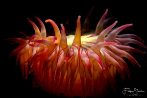 A deep red Dahlia anemone (Urticina felina) on the seabed... by Filip Staes